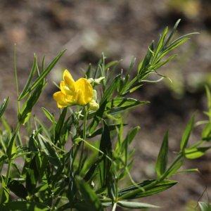Lathyrus pratensis