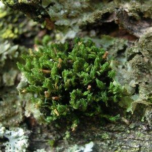 Orthotrichum rogeri